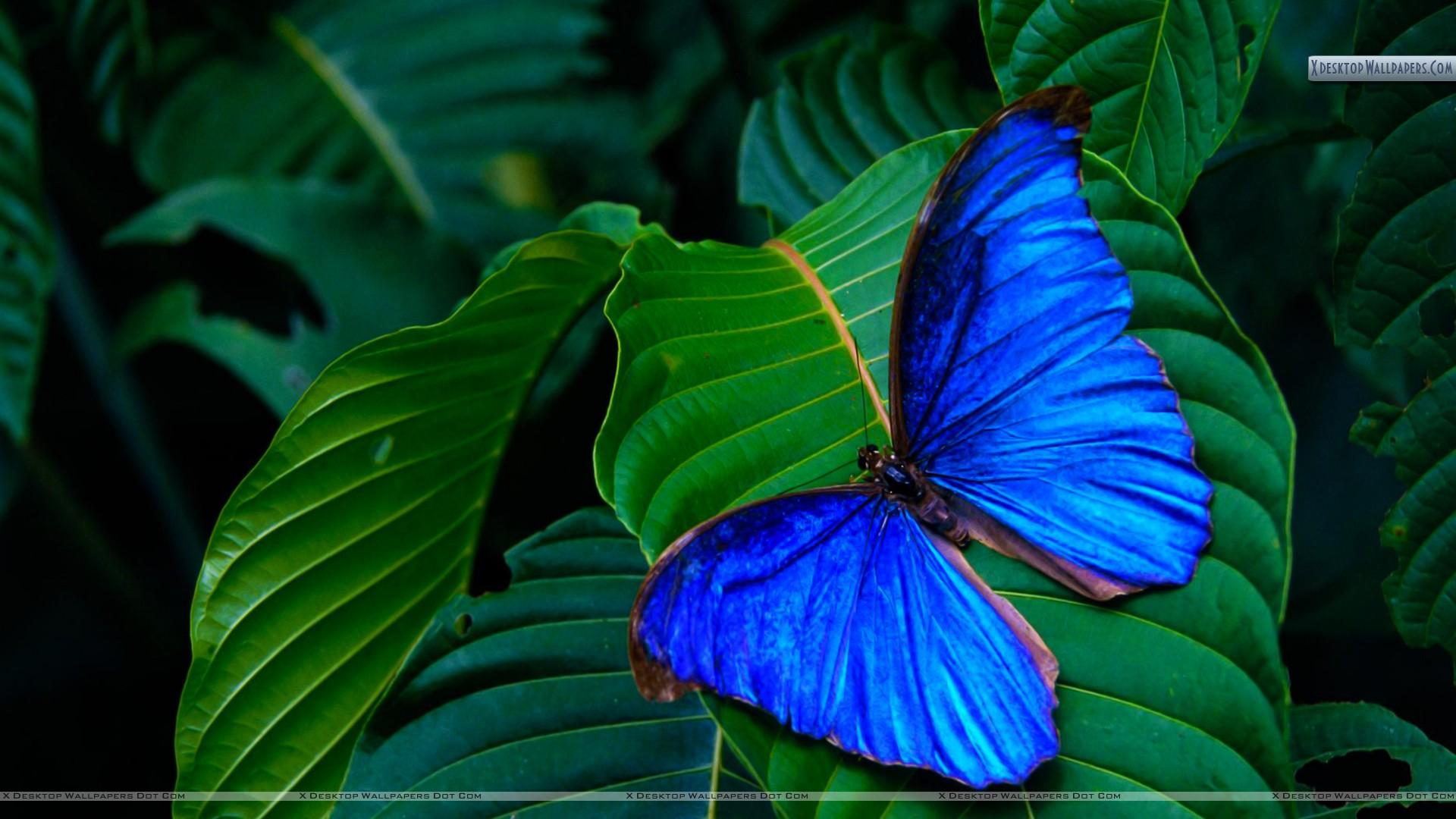 Blue-Morpho-Amathonte